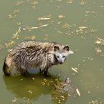 野生のタヌキって何を食べてどんな生活をしている?