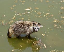 野生 タヌキ 食べ物
